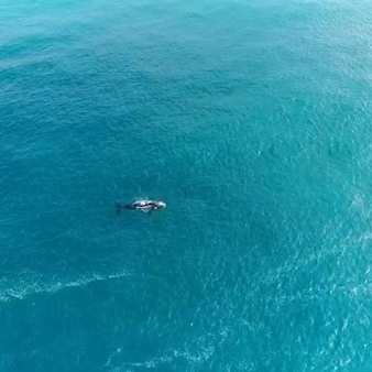A solitary whale making its way up the WA coastline at Injidup Beach